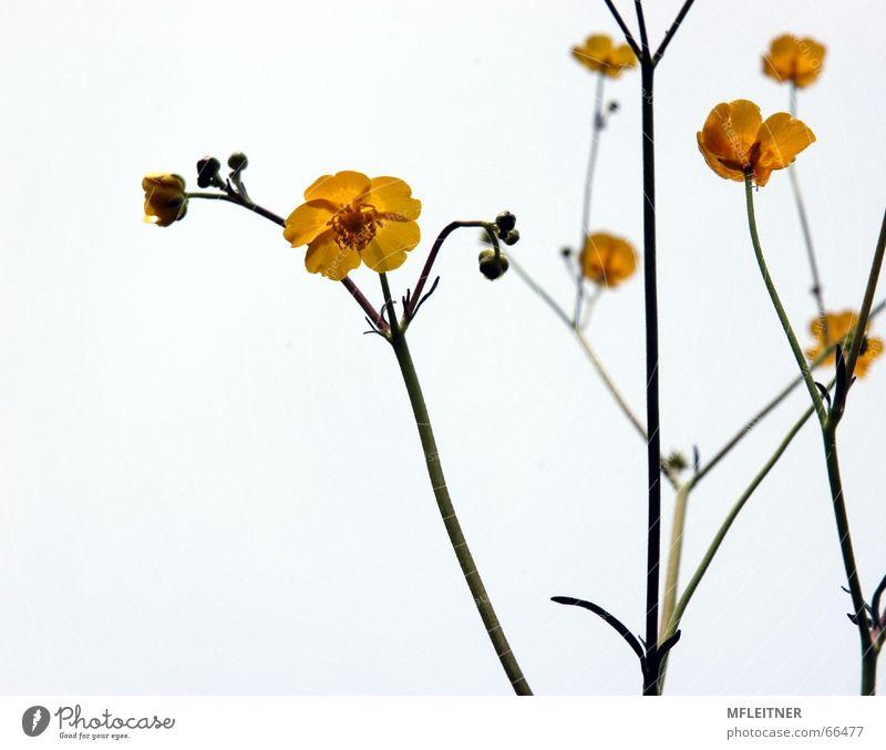 Buttercups | Buttercups Yellow Flower White buttercups Dandelion flowers Nature