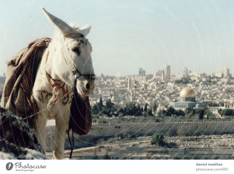 Jerusalem Israel West Jerusalem Town Donkey Dome of the rock Temple Mount 1 White Deserted Exterior shot Colour photo Mosque Islam Holy