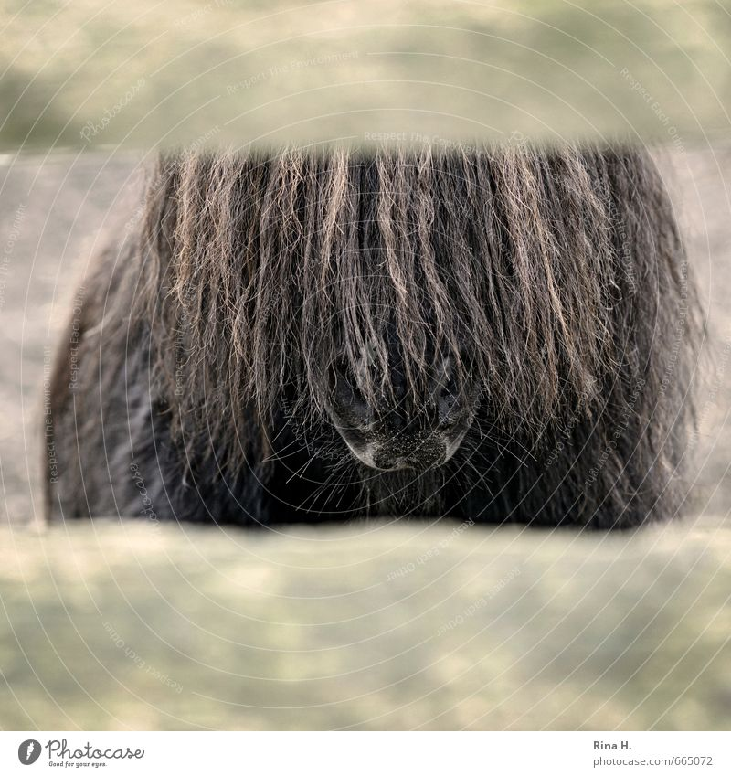 no transparency Animal Pet Horse 1 Brown Captured Fold Vista Bangs Pony Mane Nostrils Subdued colour Exterior shot Deserted Animal portrait Forward