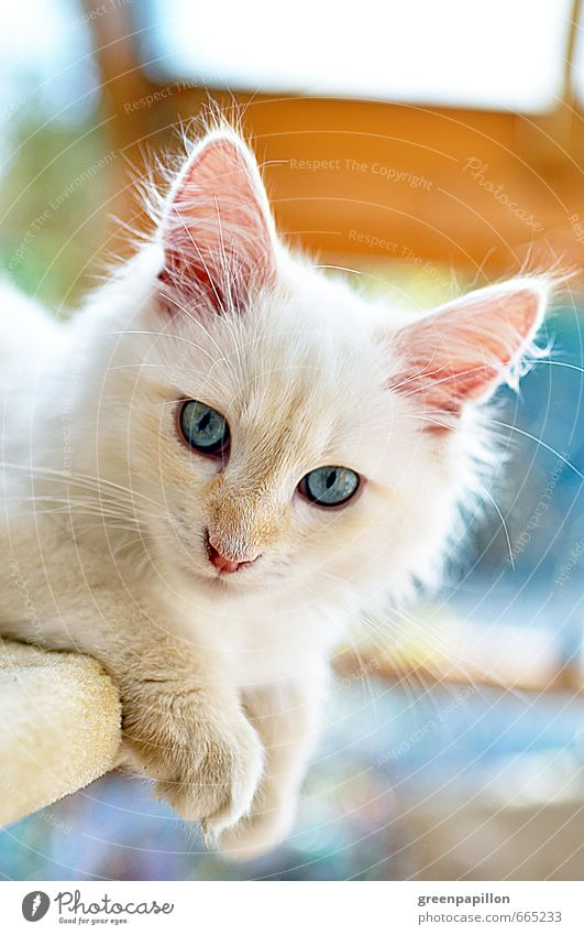 Cat Blue White Relaxation Animal Baby animal Head Discover Animal face Pet Domestic cat Long-haired Paw Livestock breeding Kitten Siberia