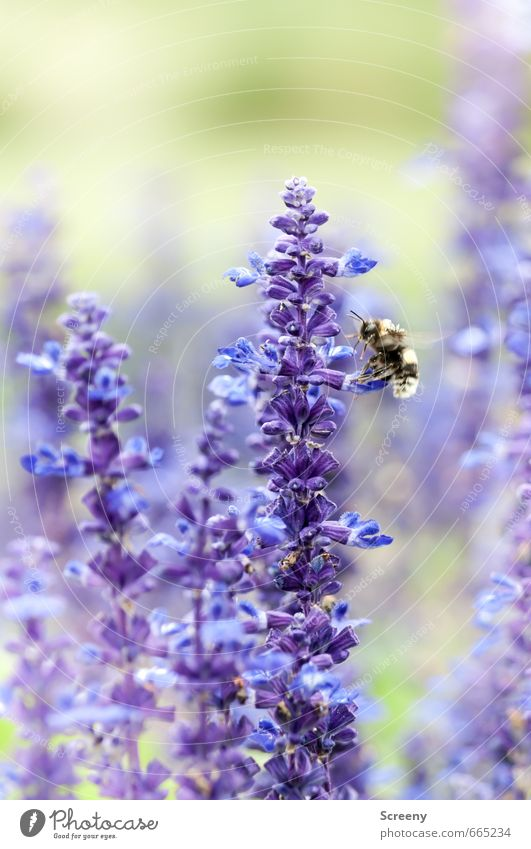 docking sequence Nature Plant Animal Summer Flower Blossom Lavender Garden Park Meadow Bee 1 Flying Green Violet Idyll Nectar Pollen Wing Colour photo