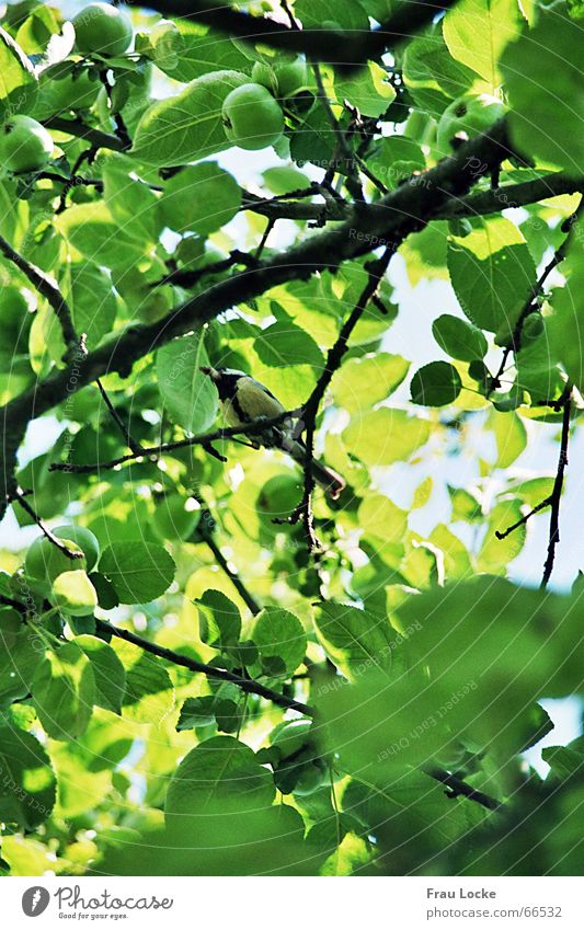 Nature Sky Tree Green Summer Leaf Clouds Bird Tit mouse Chirping Whistle Passerine bird