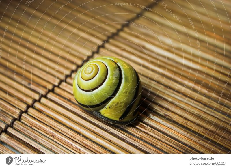 Yellow Wood Snail Bowl Spiral Snail shell Mat Brown-lipped snail