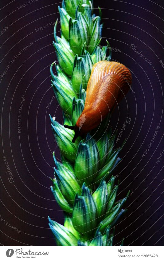 snail on an ear Nature Plant Animal Agricultural crop Snail 1 Esthetic Authentic Exceptional Near Natural Brown Green Colour photo Exterior shot Close-up Detail