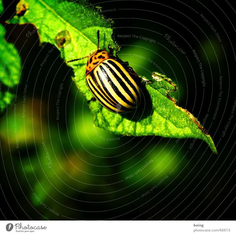 Gli, Gla, Lucky beetle Stripe Middle Colorado beetle Pests Destructive weed Potatoes Field torgau biological warfare bioweapon sweet fratz