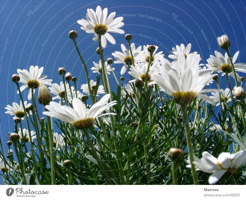 Sky Flower Marguerite