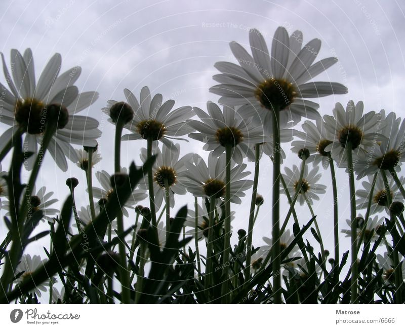 Flower Marguerite