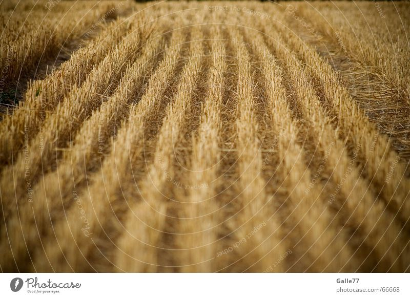 Cornfield vs. doormat Field Wheat Yellow Progress Lawn Straw Doormat Grain rogge Line Harvest Amazed dumb Stalk stepping down