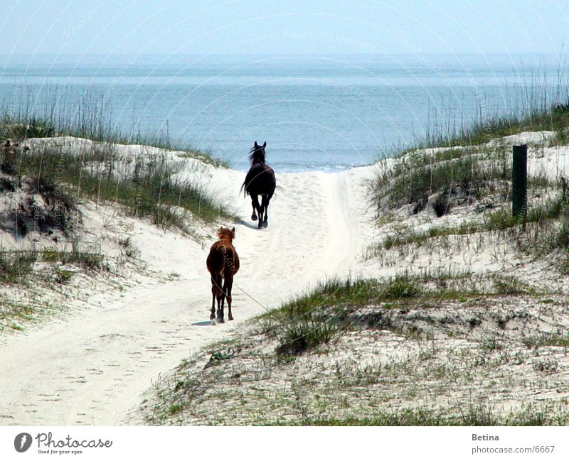 wild horses Colour photo Exterior shot Day Ride Vacation & Travel Far-off places Freedom Summer Beach Ocean Coast Animal Wild animal Horse 2 Pair of animals