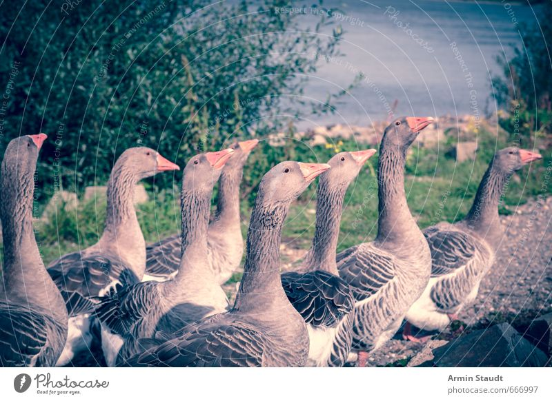 Nature Summer Environment Movement Moody Bird Walking Wild animal Authentic Group of animals Fear of death Pride Vintage Rhine Wild goose Color filter