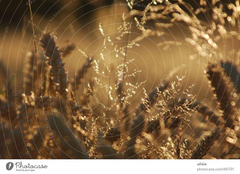 wheat field Wheat Wheatfield Grass Summer Harvest Light Back-light Blur Brown Glittering Grain Shadow