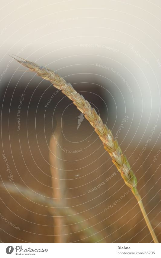 delicately spun Ear of corn Wheat Field Evening sun Agriculture House (Residential Structure) Building Spider's web Diffuse Nature Grain spike setting sun