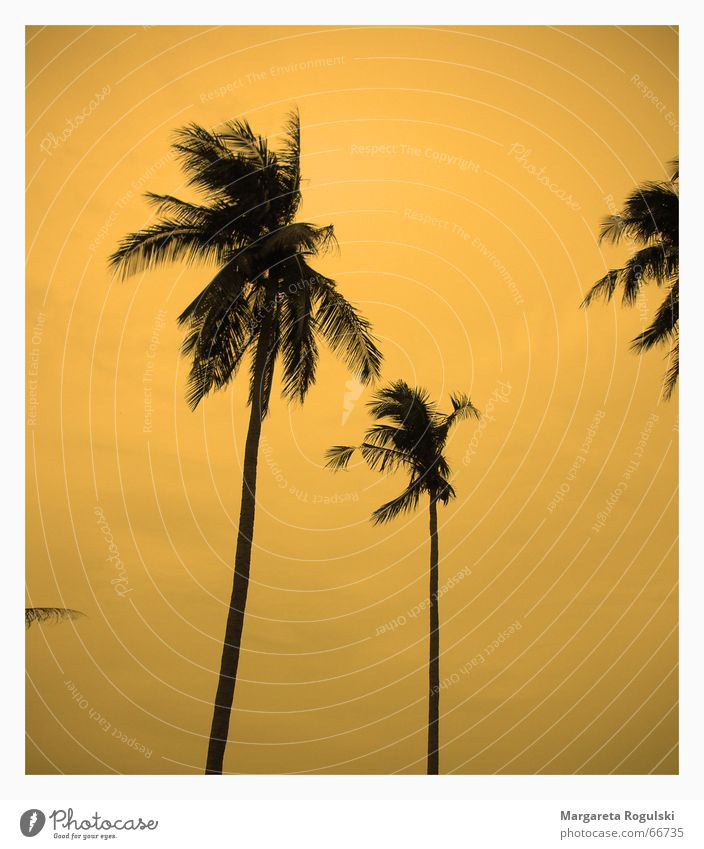 sunset Palm tree Sunset South Beach Thailand Dream Miami Orange coconut Wind