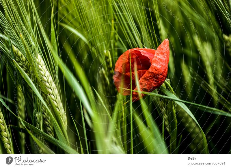 Poppy seed in cornfield Environment Nature Animal Summer Autumn Beautiful weather Plant Flower Blossom Foliage plant Agricultural crop Poppy blossom Grain