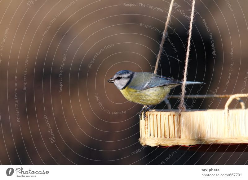 blue tit standinf on seed feeder Beautiful Winter Garden Nature Animal Bird Sit Small Natural Wild Blue Yellow Survive wildlife food Birdseed Tit mouse