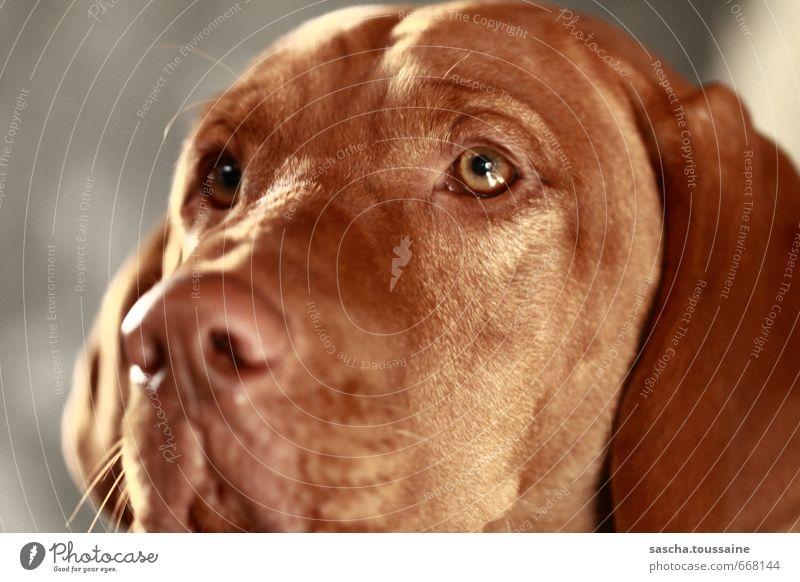 Dog Calm Animal Sadness Emotions Brown Glittering Dream Observe Near Trust Watchfulness Brunette Pet Pride Sympathy