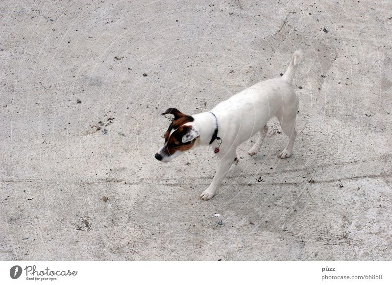 White Animal Gray Dog Small Concrete Pet Terrier Jack Russell terrier