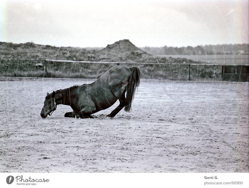 Animal Sand Horse Pasture Fence Arise Bridle Ponytail Hind leg