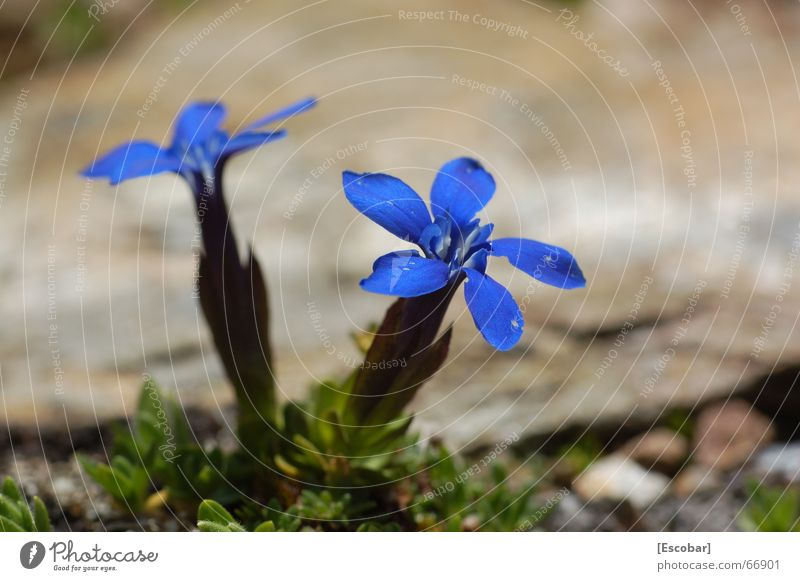 Flower Blue Plant Alps Gentian plants Ortler