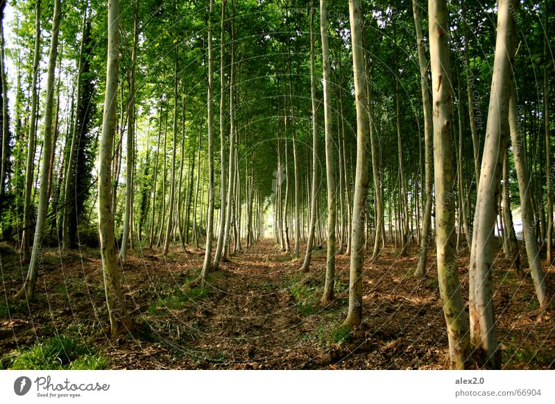 Nature Tree Green Plant Forest Line Brown Idyll Row Parallel Drop anchor Forest path Stand to attention