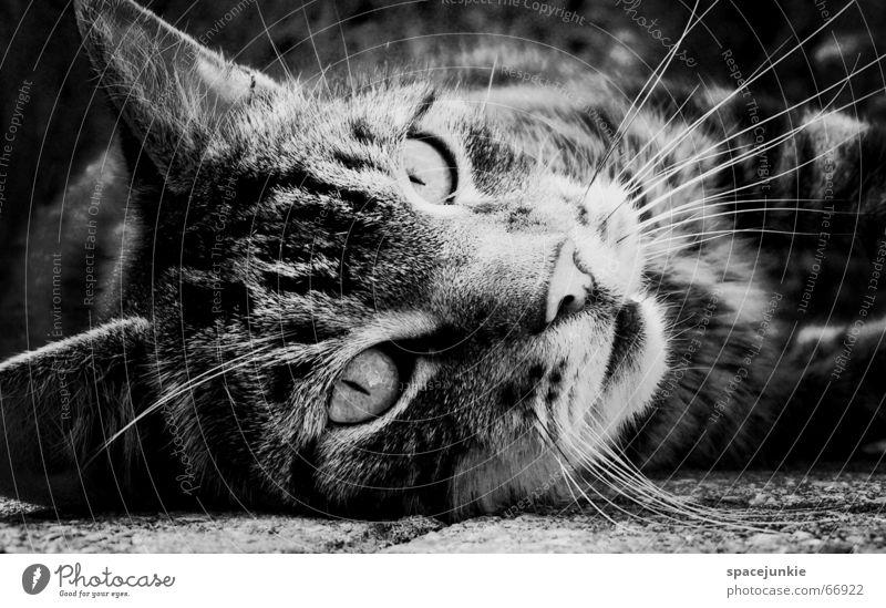 Eyes Animal Cat Pelt Pet Paw Domestic cat Wilderness Cat eyes Big cat Cat's paw Cat's head Wild cat