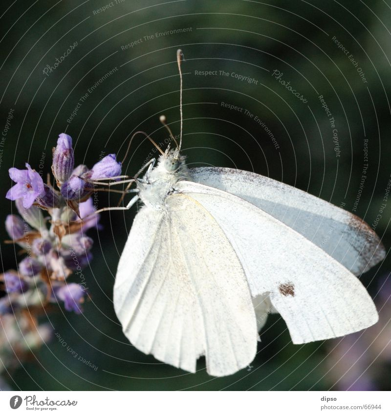 White Blue Blossom Butterfly Lavender Stamen Suck Trunk Nectar Medicinal plant Cabbage white butterfly