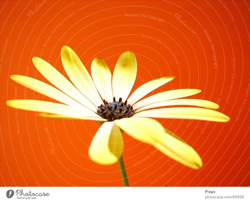 Nature Flower Plant Red Summer Yellow Blossom Blossoming Illuminate Seasons Colour Marguerite