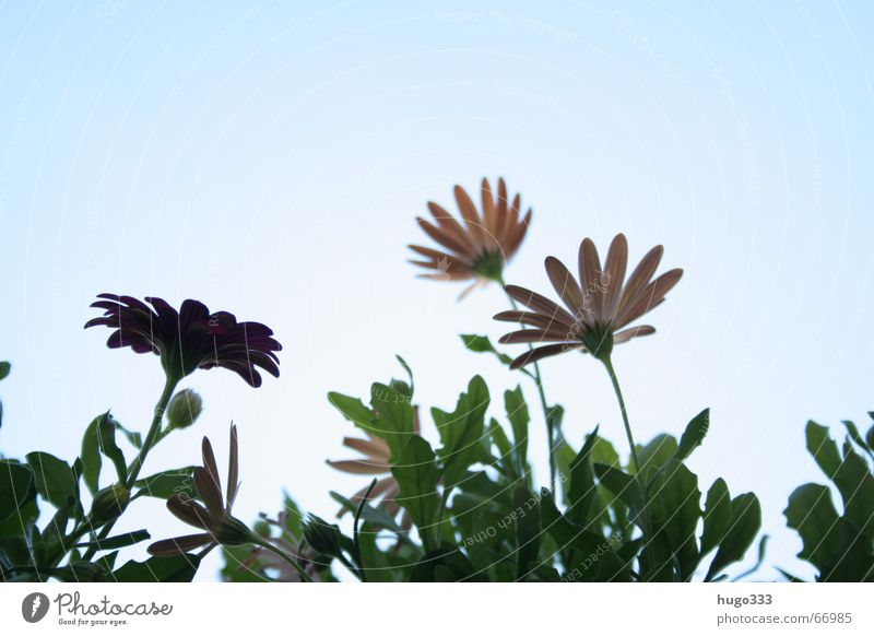 Sky Flower Green Blue Red Pink Soft Delicate Stalk Dry Muddled Marguerite Sky blue Rouge