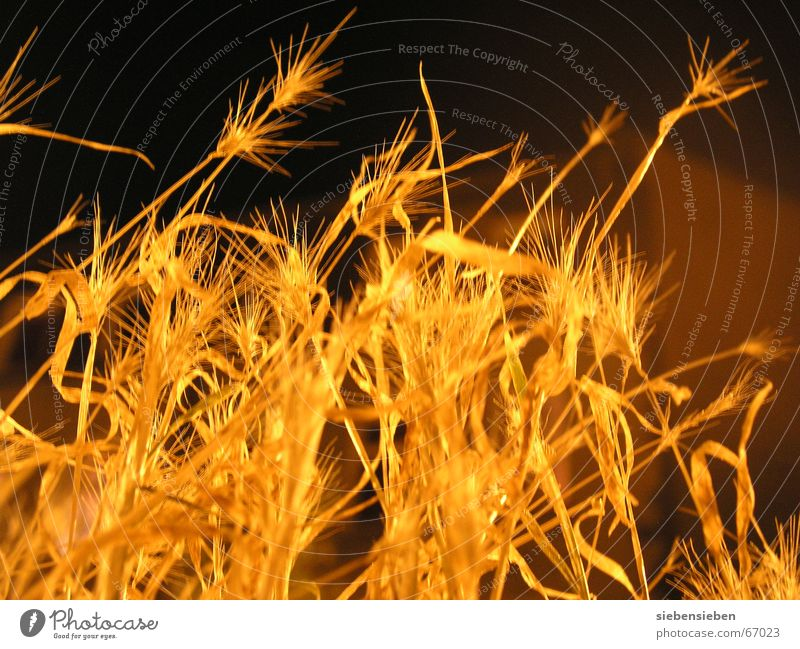 Plant Dark Autumn Lighting Glittering Gold Thin Grain Radiation Dry Blade of grass Botany Seed Illuminate Drought