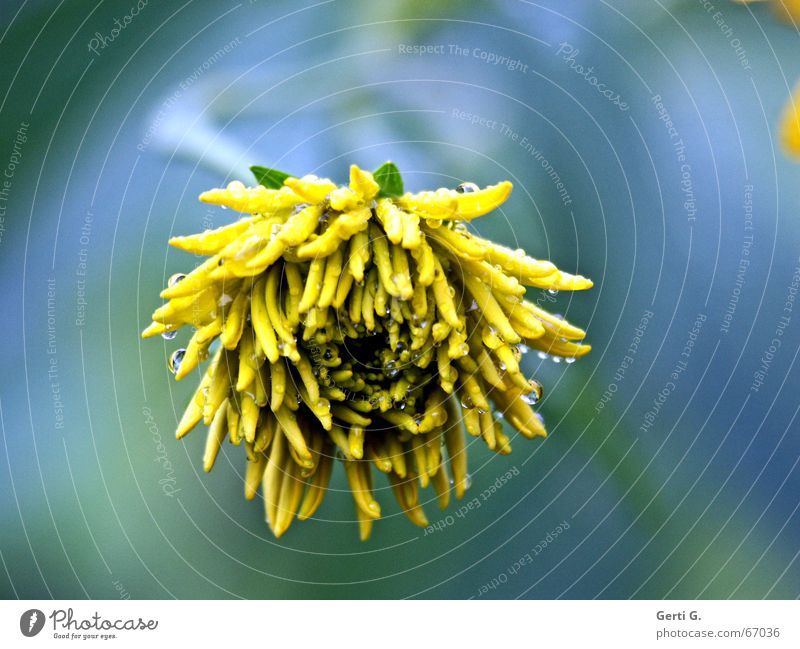 Flower Green Blue Yellow Colour Rain Drops of water Wet Delicate Stalk Blossoming