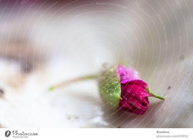 Nature Beautiful Plant Summer Spring Blossom Natural Pink Rose