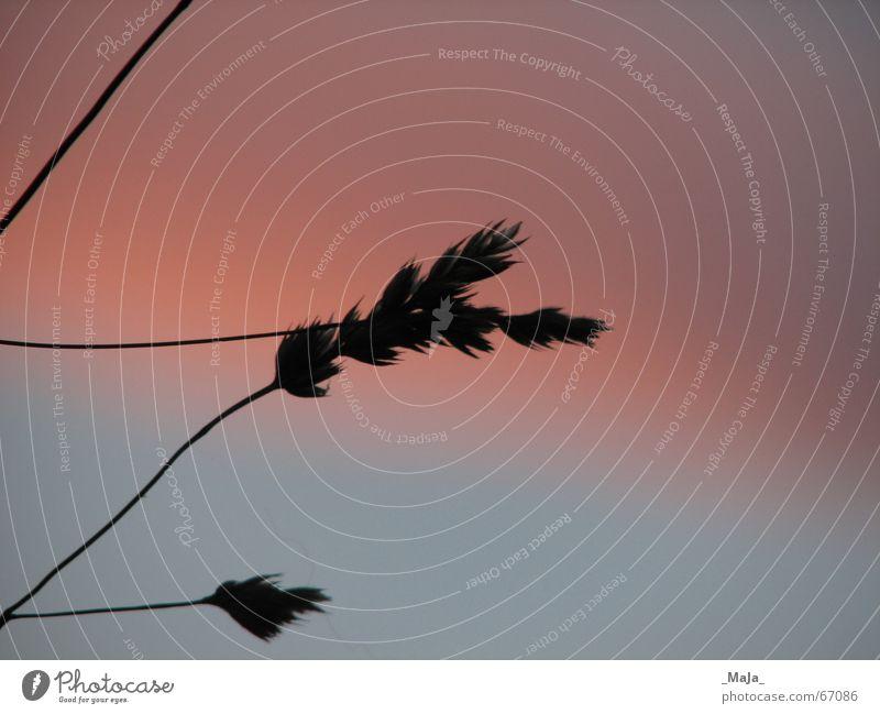silhouette Blade of grass Grass Dusk Pink Silhouette Sky Evening Blue