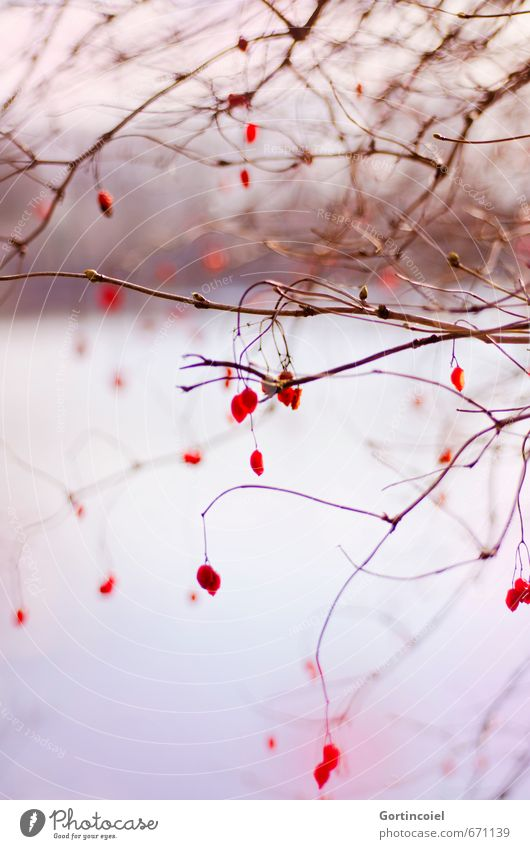 Nature Plant Beautiful Tree Red Winter Environment Lake Bushes Lakeside Berries Twigs and branches Nature reserve Guelder rose