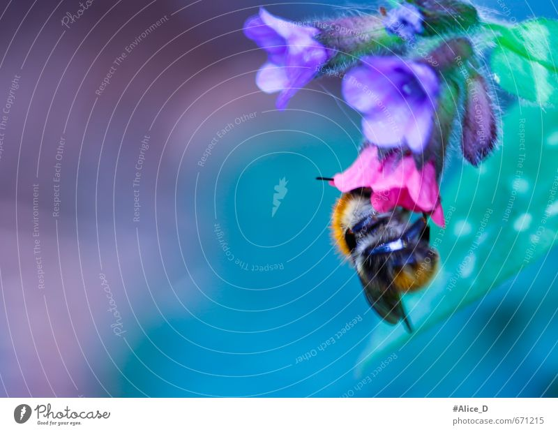 Bumblebee looking for food Nature Plant Animal Spring Summer Flower Blossom Wild plant Garden Bee Bumble bee 1 Environment Nectar Violet Colour photo