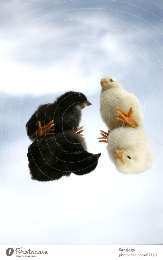 Sky White Black Bird Small Sweet Cute Barn fowl Animal