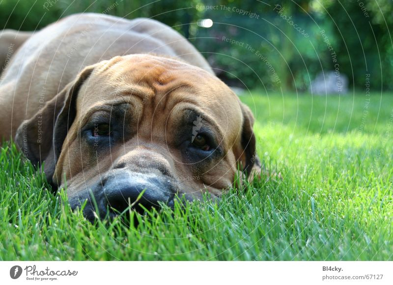 Dog Green Relaxation Calm Grass Brown Lie Contentment Nose Break Symbols and metaphors Wrinkle Pelt Comfortable Snout Goof off