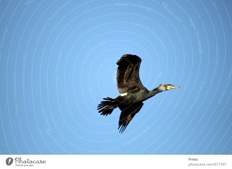 Sky Nature Blue Animal Black Air Flying Bird Wild animal Beautiful weather Wing Infinity Cloudless sky Cormorant