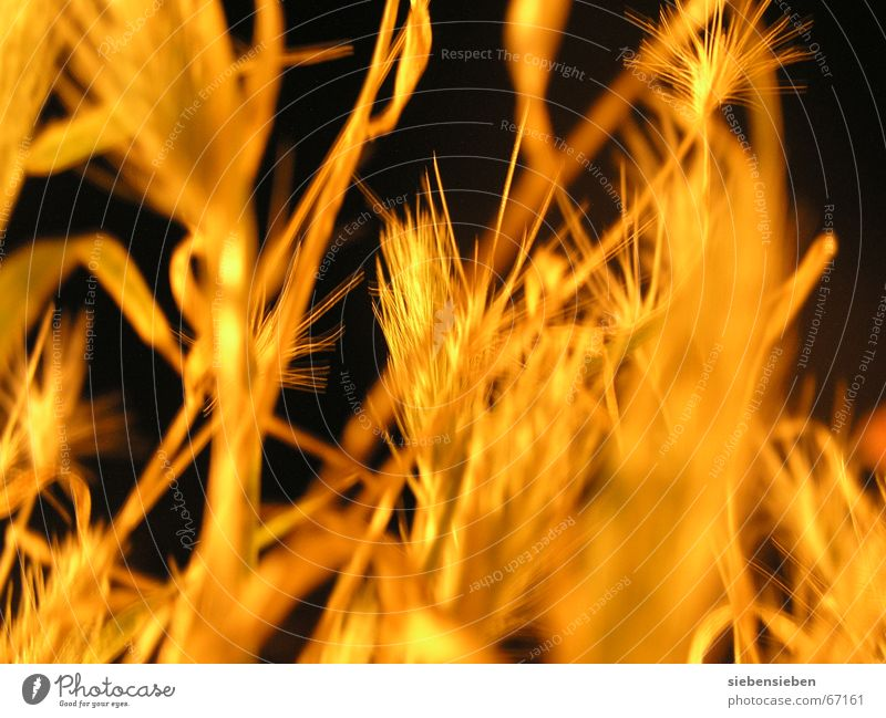 At night (II) Lighting Cereals Night Dark Yellow Plant Illuminate Dry Drought Dried up Crops Ear of corn Field Radiation Verdant Glittering Botany