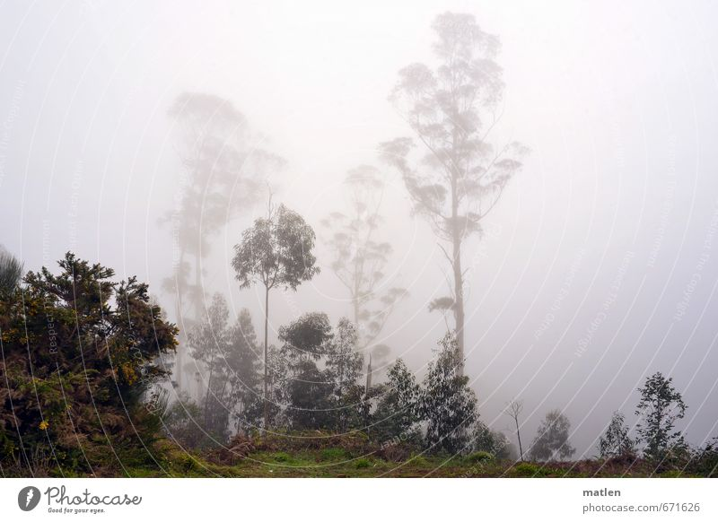 by day and by fog Nature Landscape Plant Winter Weather Bad weather Fog Rain Tree Bushes Forest Gray Green eucalyptus Colour photo Subdued colour Exterior shot