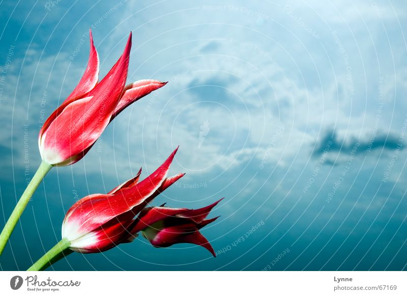 high up Tulip Red White Green Clouds Flower Dark Sky Blue Nature Bright Thunder and lightning Multicoloured