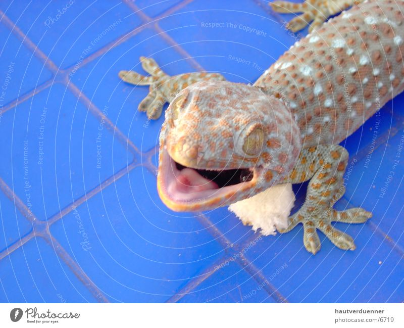 Tucce Gecko Close-up Saurians Lizards Thailand Trenchant Dangerous Wild animal tucce