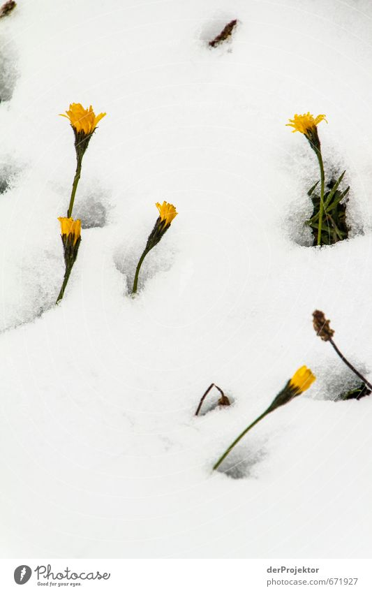 The breakthrough Environment Nature Landscape Plant Elements Summer Winter Climate Climate change Bad weather Ice Frost Snow Flower Foliage plant Alps Mountain