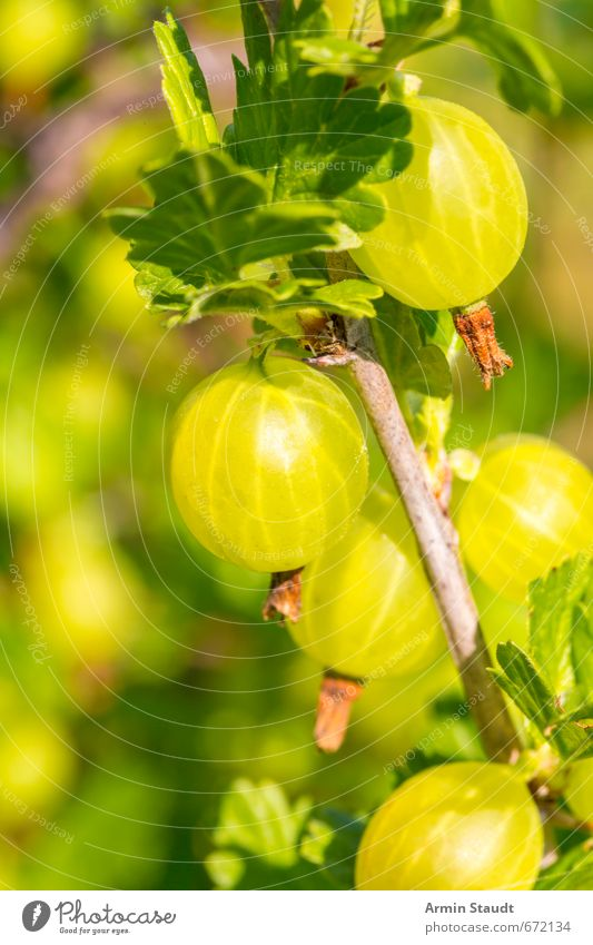 Gooseberries on the bush Gooseberry Summer Nature Agricultural crop Garden Growth Fresh Healthy Delicious Natural Juicy Sour Thorny Green Fragrance To enjoy