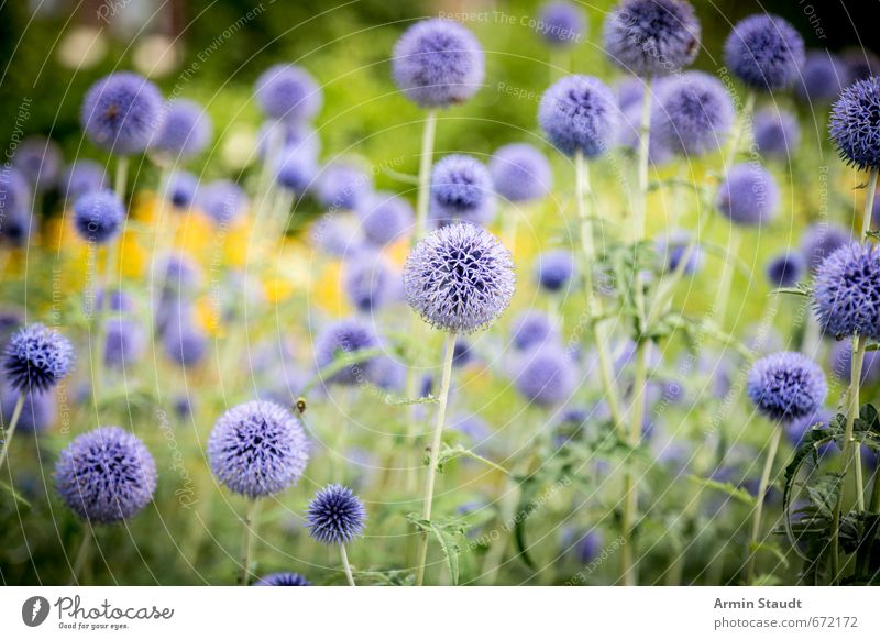 Summery thistle field Nature Plant Wild plant Thistle Field Meadow Fragrance Positive Thorny Blue Green Moody Spring fever Beautiful Colour Peace Growth