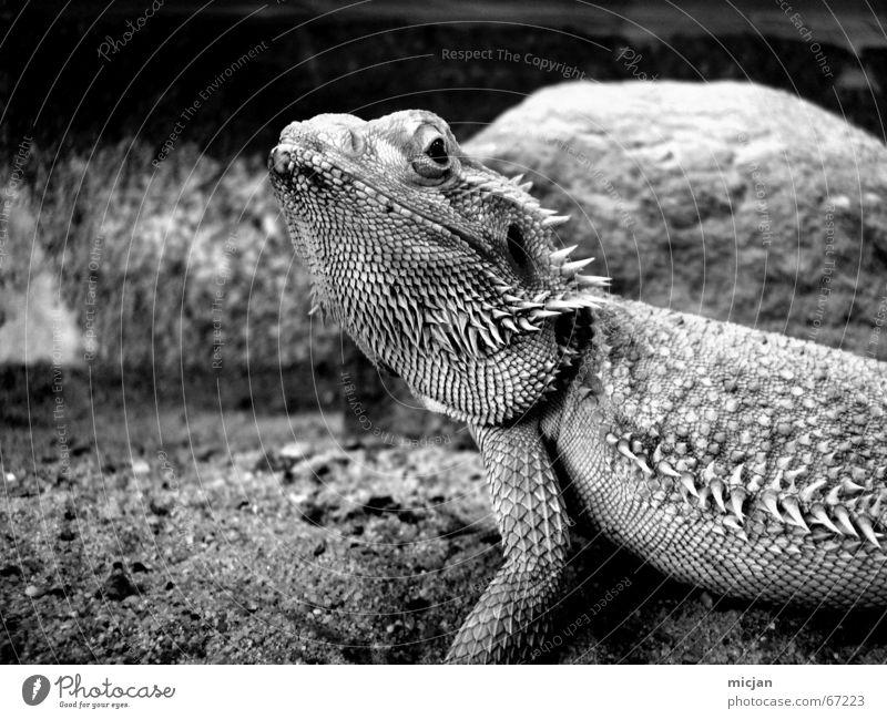 White Black Animal Dark Gray Sand Large Point Hide Zoo Watchfulness Captured Exotic Pet Pride Graceful