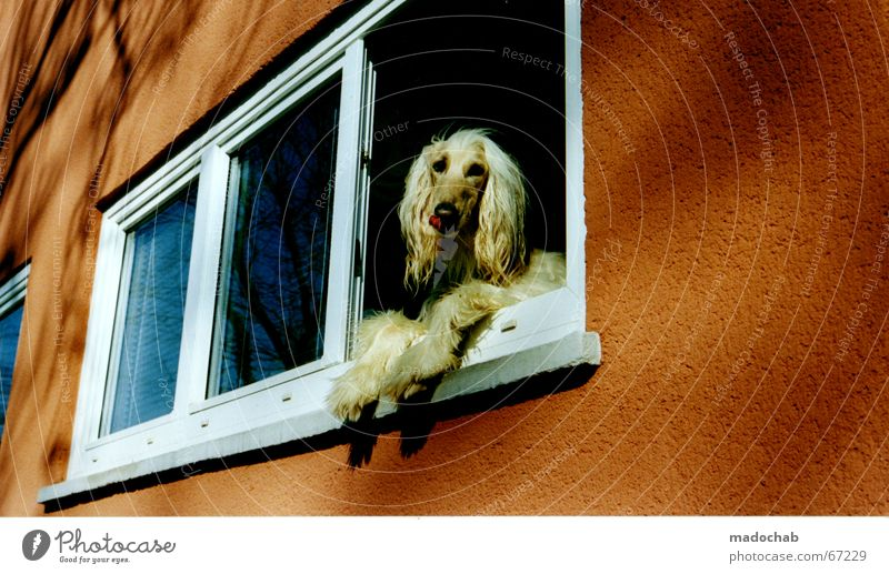 SUSPECTED SIMILARITY Dog Window Wall (building) Pretentious Long-haired Mane Pamper Vantage point To enjoy Looking Loneliness Animal humanization