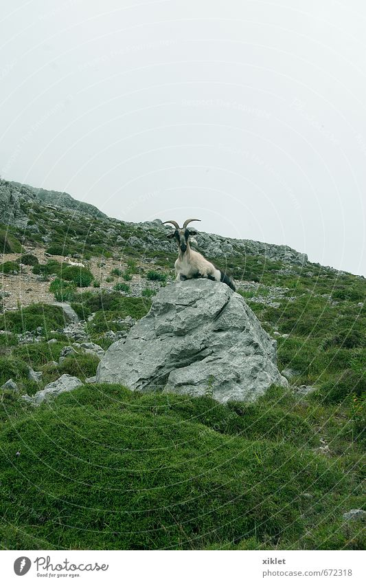 goat Vacation & Travel Beautiful Green Loneliness Landscape Animal Cold Eating Natural Rock Air Fog Contentment Free Wild animal Authentic