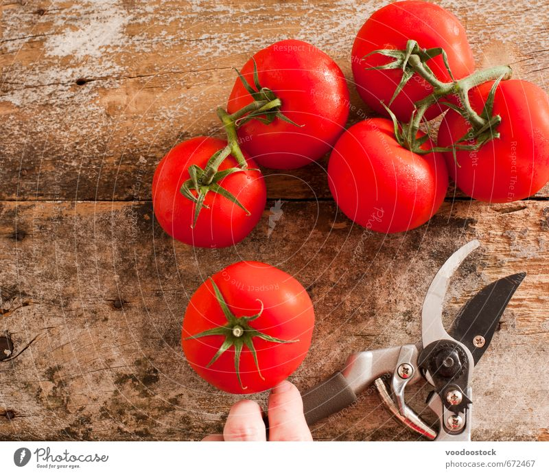 Freshly harvested ripe red grape tomatoes Food Vegetable Vegetarian diet Healthy Eating Gardening Scissors Fingers Wood Growth Red bunch cutting secateurs