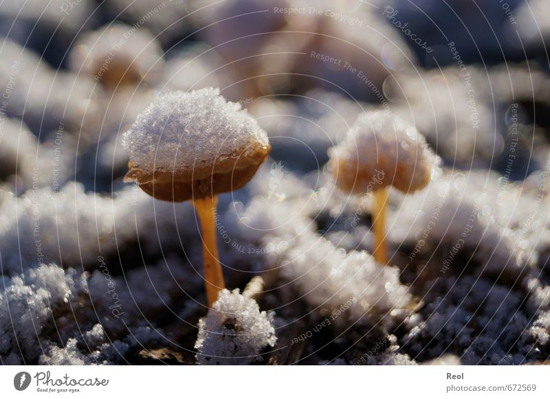 Mushrooms in the snow Environment Nature Animal Earth Sunlight Winter Beautiful weather Plant Garden Park Forest Brown Gold White Snowfall Frozen Frost