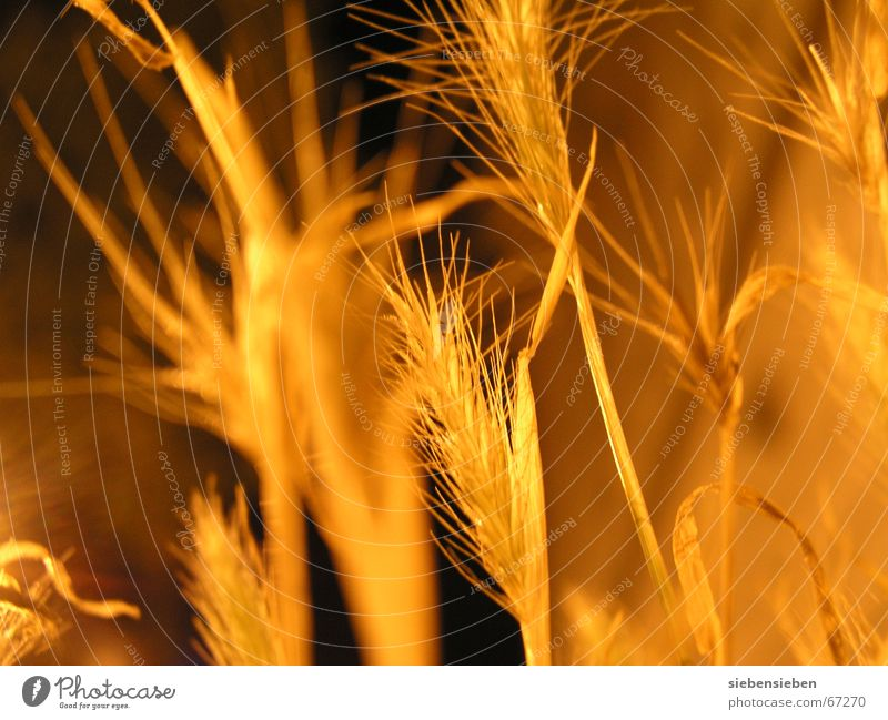 At night (III) Lighting Night Dark Yellow Plant Illuminate Dry Drought Dried up Crops Cereals Ear of corn Botany Part of the plant Environment Glittering Seed